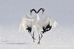 25 Most Beautiful Bird Photography examples and Tips for photographers - Japanese Cranes Exotic dance – Marsel van Oosten. Cranes are so graceful birds. Most Beautiful Birds, Pretty Birds, Love Birds, Simply Beautiful, Beautiful Creatures, Animals Beautiful, Cute Animals, Funny Animals, Funny Birds