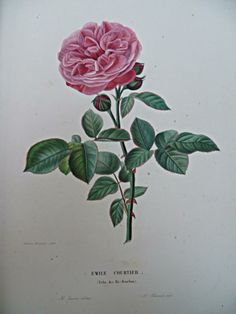 "Annica Bricogne: Rosa ""Emile Courtier"""
