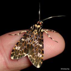 "https://flic.kr/p/un1HJ6   Tiger moth, Eucereon mitigata   from Ecuador: <a href=""http://www.flickr.com/andreaskay/albums"">www.flickr.com/andreaskay/albums</a>"