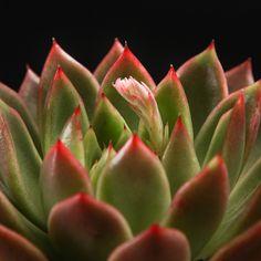 Certi Echeveria Agavoides, vetplanten, groene kamerplanten, moderne groene planten, hippe kamerplanten Bloemen, Planten, webshop, online bestellen, rozen, kamerplanten, tuinplanten, bloeiende planten, snijbloemen, boeketten,  orchideeën kopen
