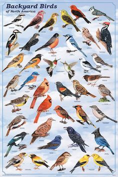 Laminated Backyard Birds Educational Science Chart Poster Laminated Poster 24 x Pretty Birds, Love Birds, Beautiful Birds, Birds 2, Animals Beautiful, Beautiful Pictures, Funny Bird, Bird Identification, Bird Poster