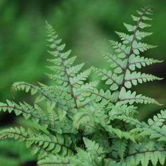 Eared Lady Fern Athyrium otophorum 'Okanum' - 1L Pot
