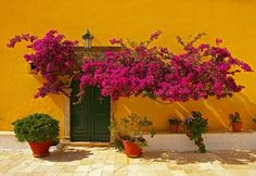 Tremendo contraste de colores entre la bougainvillea y el color de la pared.