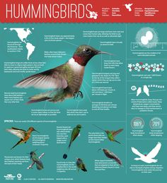 Hummingbird Infographic, PBS Nature (humming birds riding on the backs of geese? Small Birds, Little Birds, Love Birds, Beautiful Birds, Pet Birds, Colorful Birds, Exotic Birds, Exotic Animals, Alpacas