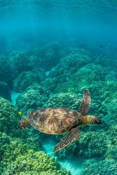 Green Sea Turtle Swimming among Coral Reefs off Big Island of Hawaii (by Lee Rentz)