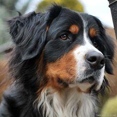 Nely - Bernese Mountain Dog by hancule83 #BerneseMountainDog