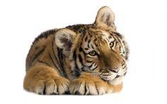 Tiger Wallpaper 400x250 Tiger Wallpaper