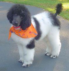 Parti Standard Poodle, 4 months old