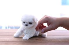 Cute Puppies For Sale, Pomeranian Puppy For Sale, Chihuahua Puppies For Sale, Teacup Maltese For Sale, Teacup Puppies For Sale, Teacup Yorkie, Cute Baby Dogs, Cute Baby Animals, Doggies