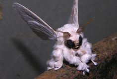Strange but true: The Venezuelan poodle moth, pictured here, was originally believed to be an Internet hoax