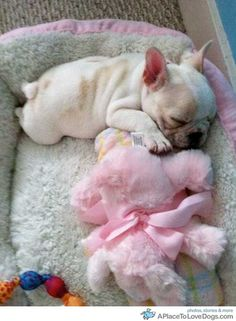 french bulldog baby