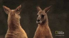World's Deadliest - Kangaroo Kickboxing