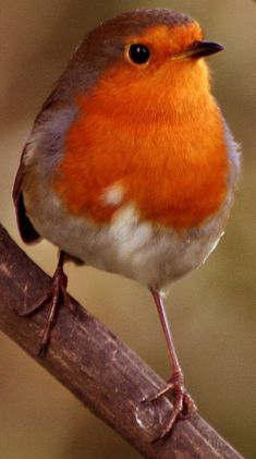 Robin Redbreast: We see lots of these little birds in our garden especially during the Winter months .