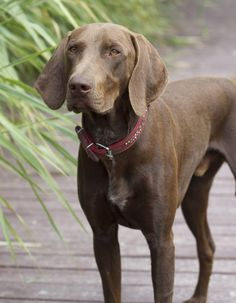 Pointers are an active and friendly breed that is affectionate with family.