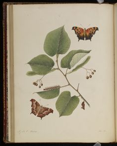 Plate 11 from The natural history of the rarer lepidopterous insects of Georgia. Including their systematic characters, the particulars of their several metamorphoses, and the plants on which they feed. Collected from the observation of Mr. John Abbot, many years resid · Smith, James Edward, 1759-1828 · 1797 · Albert and Shirley Small Special Collections Library, University of Virginia.