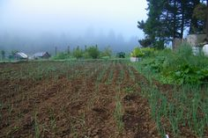 Young Onion Plants