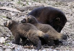 Mamma and baby wolverines film!