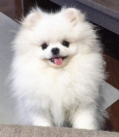 Pom Pom my dog to Source by leslieliveslarge The post Pom Pom my dog to appeared first on Elwood Kennels. Baby Animals Super Cute, Cute Baby Dogs, Baby Puppies, Cute Little Animals, Cute Puppies, Baby Animals Pictures, Cute Animal Pictures, Funny Animals, Jiff Pom