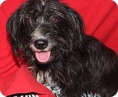 Missouri City, TX - Dachshund/Cairn Terrier Mix. Meet Soprano, a dog for adoption. http://www.adoptapet.com/pet/11025936-missouri-city-texas-dachshund-mix