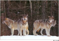 Wolf Pack | The Wolf Pack and Learning