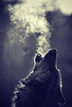 wolf dog breath howl beautiful real Image by Whitney Wolf Photos, Wolf Pictures, Wolf Artwork, Wolf Painting, Fantasy Wolf, Wolf Spirit Animal, Wolf Love, Beautiful Wolves, Wolf Howling