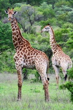 Giraffes in Kruger National Park, South Africa. If you enjoy watching wildlife… Kruger National Park, African Animals, African Safari, Elephas Maximus, Viewing Wildlife, Wale, Game Reserve, Wild Dogs, Africa Travel