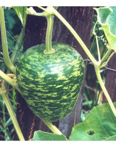 Apple Gourd -GET