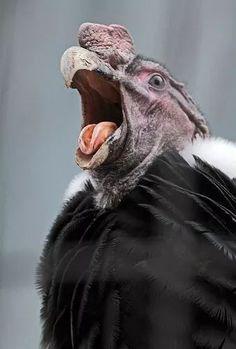 Andean Condor (Vultur P) All Birds, Birds Of Prey, Beautiful Birds, Animals Beautiful, Scavenger Birds, Andean Condor, Funny Birds, Tier Fotos, Big Bird