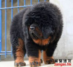Oh my that hair gees Baby Dogs, Pet Dogs, Dog Cat, Doggies, Tibetan Mastiff Dog, Big Puppies, Expensive Dogs, Mastiff Puppies, Lion Dog