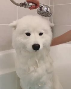 20 Samoyed Saturday Dog Samoyed Photos Who doesnt love cute fluffy dogs and are some of the cutest. Funny Cute Cats, Cute Funny Animals, Cute Baby Animals, Funny Dogs, Funny Memes, Cat Bath, Samoyed Dogs, Cute Dogs And Puppies, Doggies