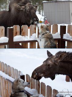 an Alaskan moose kissing a husky