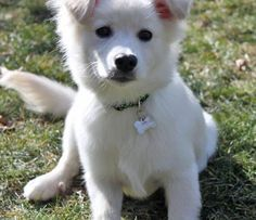 Lucy the American Eskimo/Australian Shepherd/Border Collie Mixed Breed