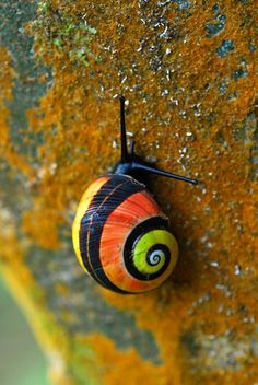 "CUBAN PAINTED SNAIL Polymita picta ©Adrián González Guillén Polymita picta, common name the ""Cuban land snail"" or the ""painted snail"", is a species of large, air-breathing land snail, a terrestrial pulmonate gastropod mollusk in the family..."