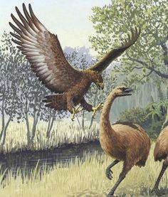 haast's eagle: EXTINCT since the case of coextinction. Maori hunted it's prey, the moa, to extinction first. Extinct Birds, Extinct Animals, Prehistoric World, Prehistoric Creatures, Australian Birds, Ancient Aliens, Animals Of The World, Fauna, Pet Birds