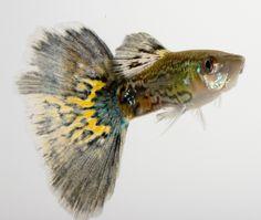 Il guppy è un variopinto pesce d'acqua dolce, molto adatto per i principianti #fish #fishtank #acquario