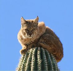 Bobcat on Cactus How did he get up there? The cat who got stuck up a cactus He's found . I Love Cats, Big Cats, Cats And Kittens, Cute Cats, Beautiful Creatures, Animals Beautiful, Mon Zoo, Animals And Pets, Cute Animals