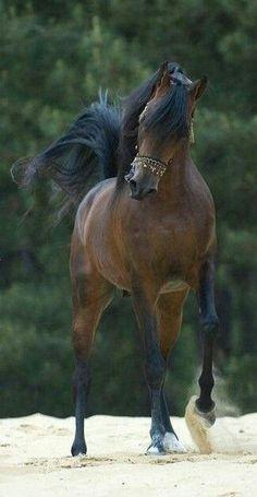 Arabian beautiful horse.