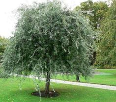 Weeping Silver Pear