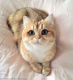 Pumpkin, the golden British shorthair kitten with 41,500 Instagram followers, worked her angles to perfection as she sat on her (throne) bed