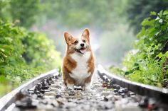 Beagle, Corgi Dog, Pet Dogs, Dog Cat, Pets, Zoom Wallpaper, Corgi Wallpaper, Animal Wallpaper, Dachshund Puppies For Sale