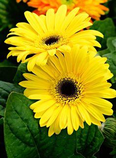 Yellow gerber a daisy - by a6-k. [deviantART]