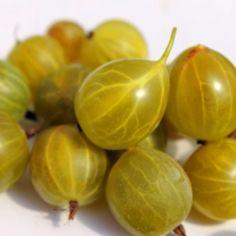 Neu! Stachelbeere Golden Teardrop (Pflanze)  Ribes uva-crispa Golden Teardrop hat tropfenförmige, gelbe Früchte. Die Fruchthaut ist ganz glatt und dünn. Die Früchte sind klein, etwa 1,5cm groß. Sie schmecken richtig gut! Süß bei vollem Aroma, fein duftend mit blumig-parfümierten Noten. Zur Sorte selbst wissen wir nicht viel, sie ist in keinem Buch aufgeführt. Der Geschmack und die Form deuten auf eine Sorte hohen Alters hin.