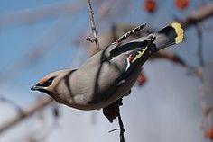 ampelis europeo (Bombycilla garrulus)2 es una especie de ave paseriforme de la familia Bombycillidae ampliamente distribuida por los bosques fríos y templados del Viejo Mundo. El plumaje es principalmente gris pardo, tiene marcas negras en la cara y un penacho puntiagudo. Sus alas están modeladas con plumas blancas y amarillas brillantes