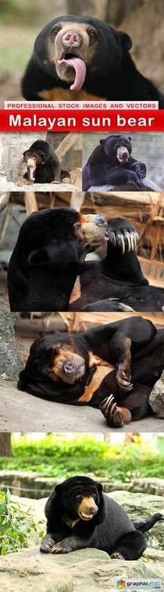 Malayan sun bear  6 UHQ JPEG  stock images