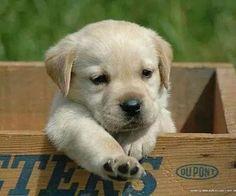 Cutest blonde lab puppy!