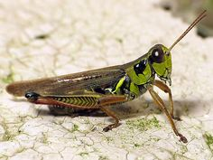 An online resource devoted to North American insects, spiders and their kin, offering identification, images, and information. Grasshopper Pictures, Praying Mantis, Little Critter, Walking Sticks, Reptiles, Bugs, Crickets, Ark, Pennsylvania