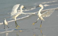 Snowy Egrets by Angela Kendall. I can think of a million things they could be saying! :D