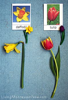 Montessori Flower Identification and Arranging for Toddlers and Preschoolers - LivingMontessoriNow.com
