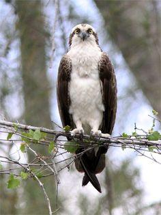 Osprey (Naples, Florida)