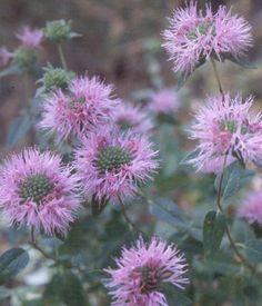 Native plants - California chaparral - Coyote Mint